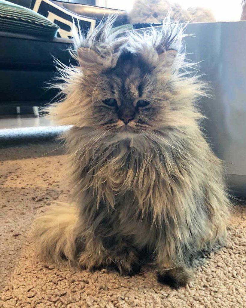 Gato persa desarrumado foto