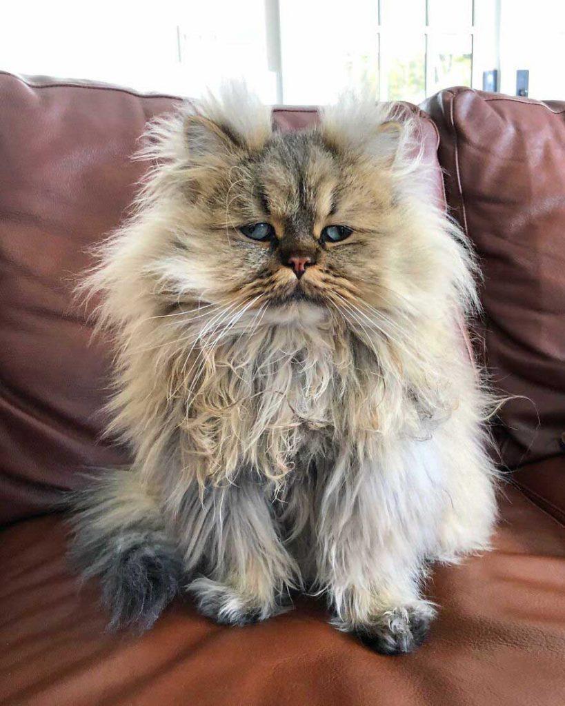Gato persa desarrumado fotos