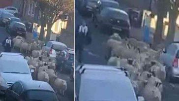 Ovelhas correm pela cidade para se salvar após escaparem do matadouro