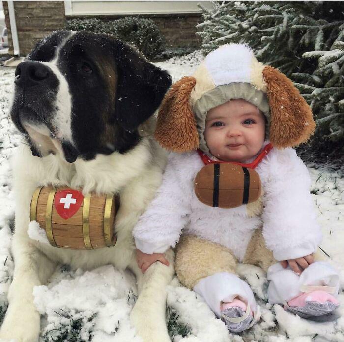 cachorro são bernardo grande