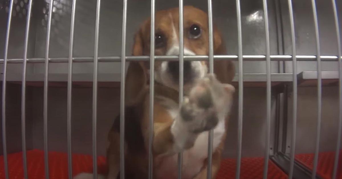 cachorros beagle explorados