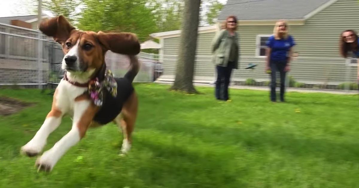 cachorros beagle laboratório