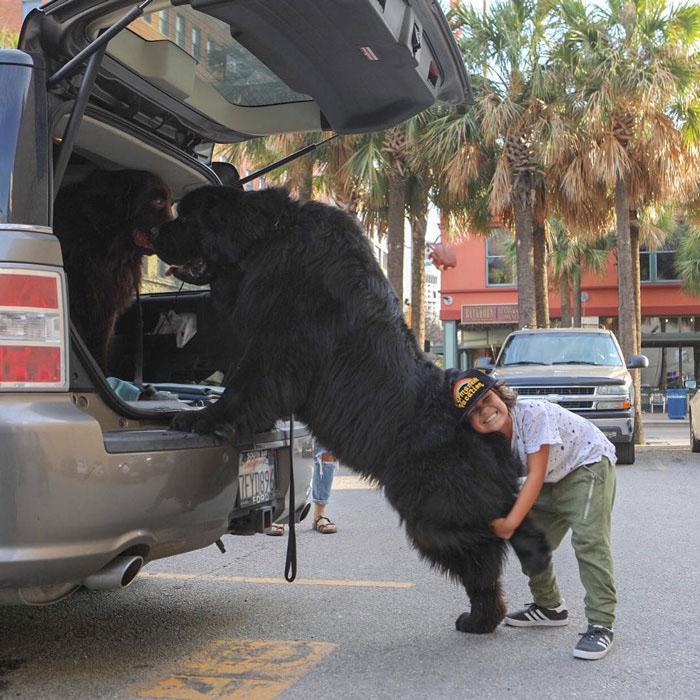 cachorros gigantes imagens