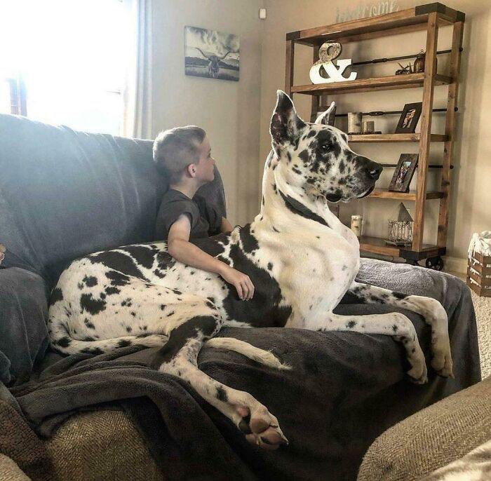 cachorros gigantes que acham que são filhotes