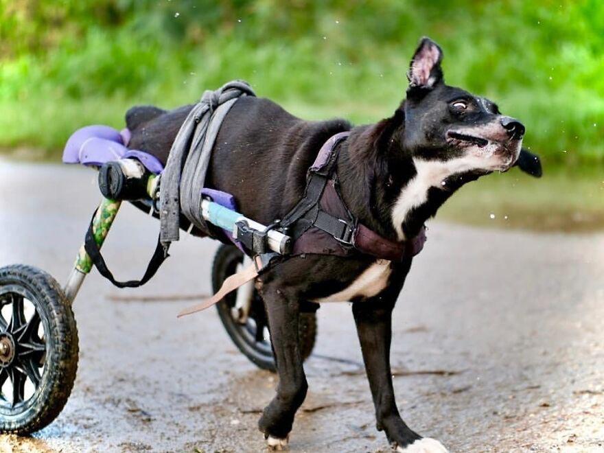 cadeiras de rodas cães