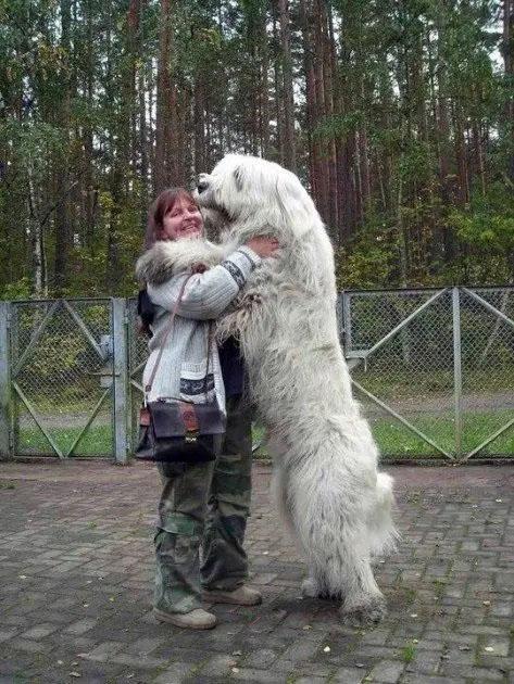 cães muito grandes