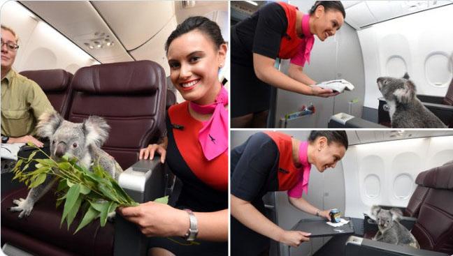 coala no avião