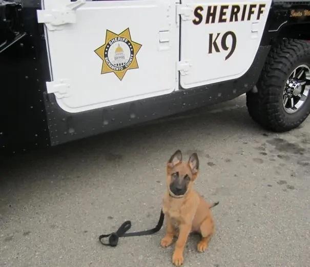 deseje boa sorte cachorros policiais