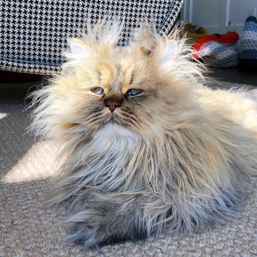 gato com pelo bagunçado