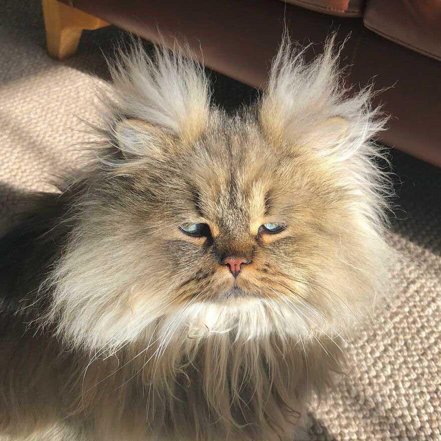 gato persa mais lindo