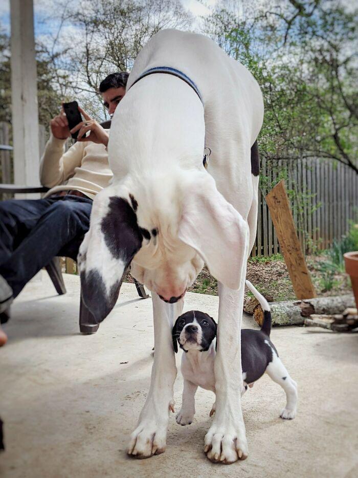 maior cachorro