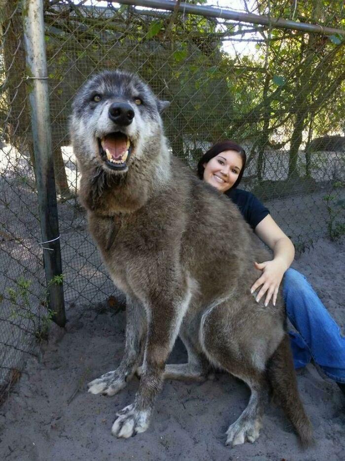 maior cão