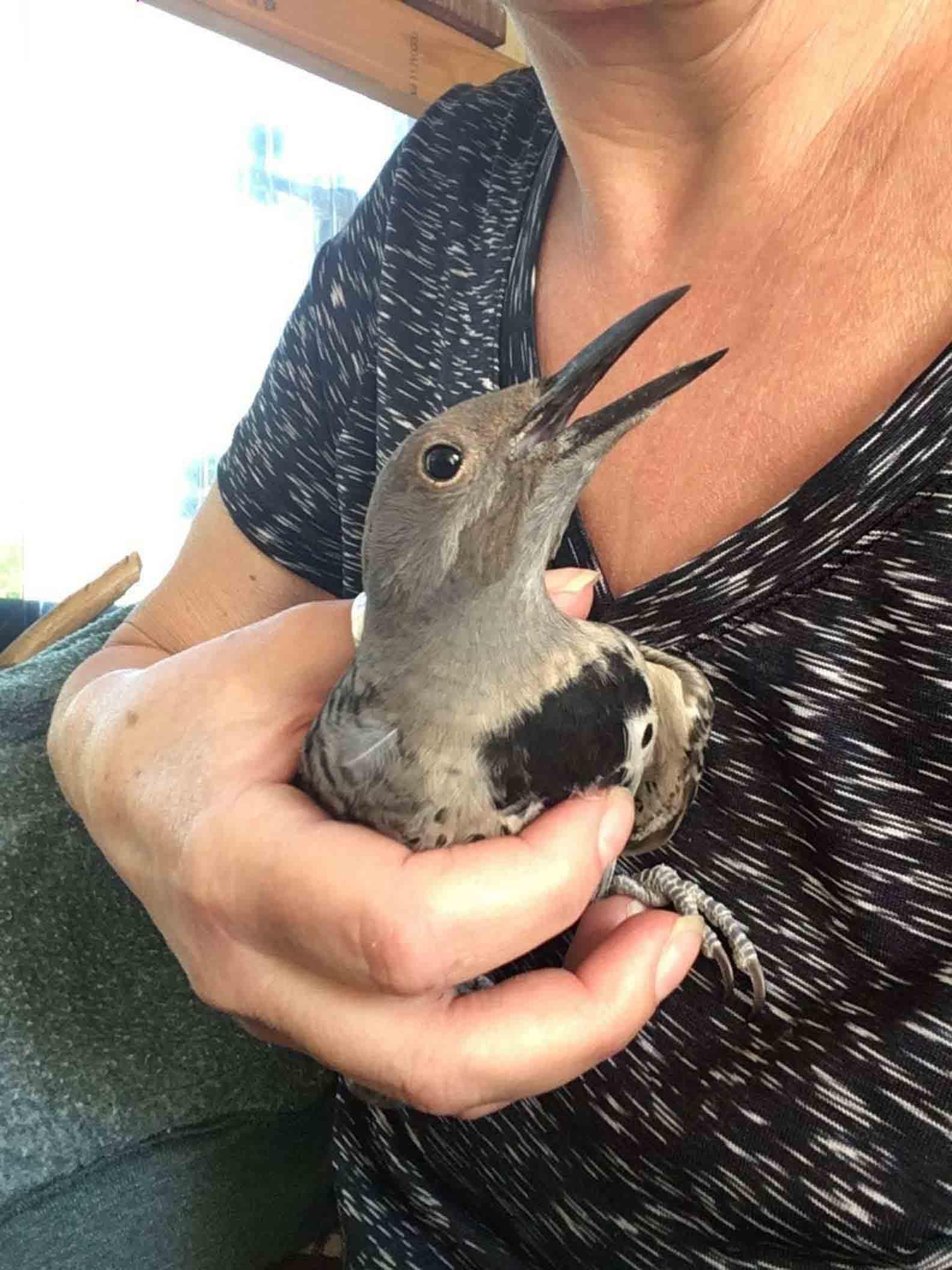 pássaro ferido resgatado