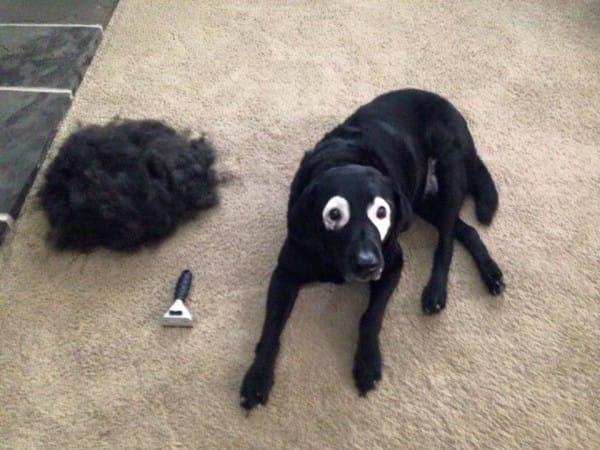 um cachorro com vitiligo fotos