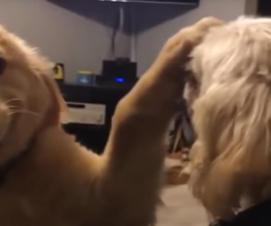 Cachorrinho calmo lida de forma hilária com irmão