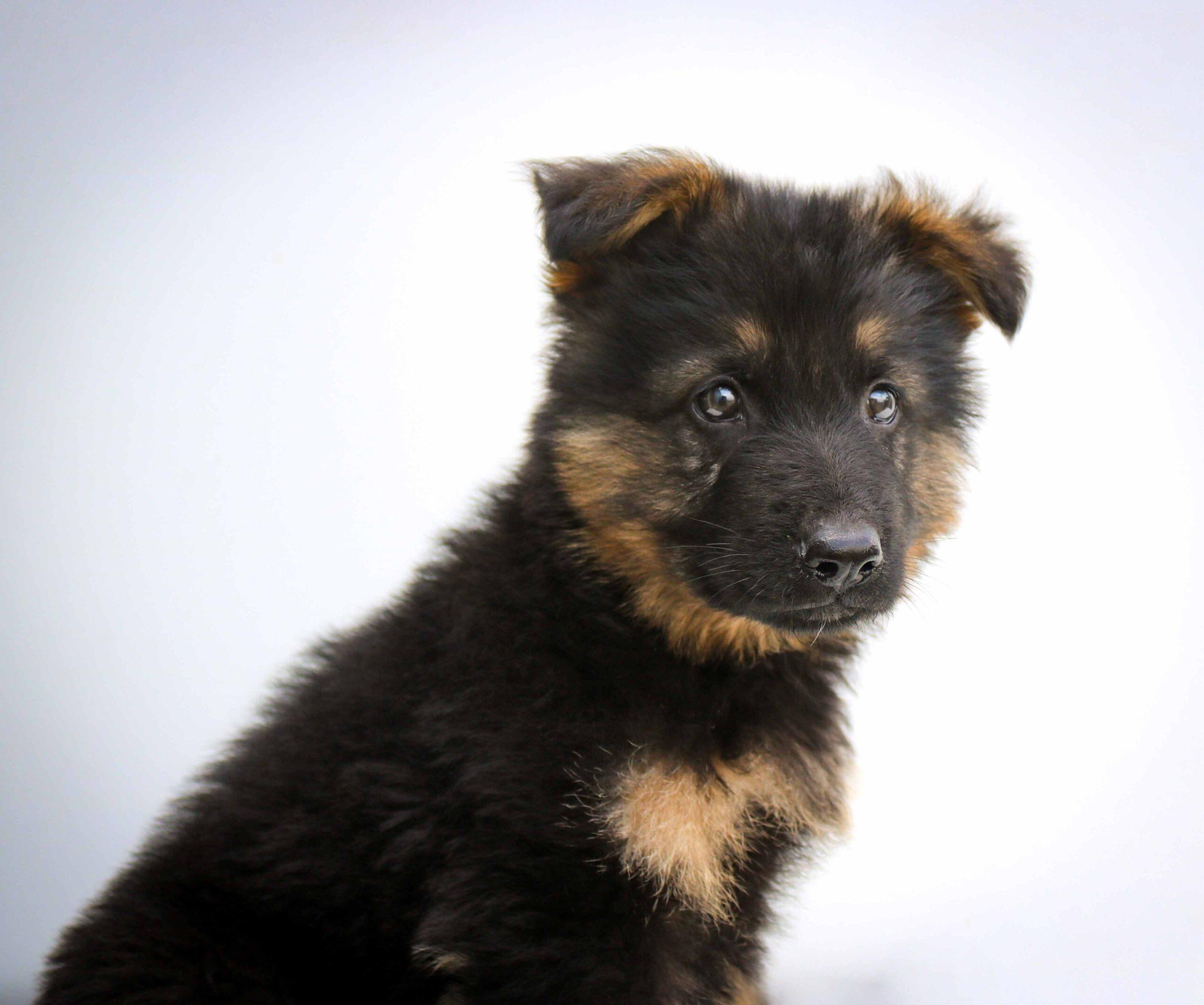 Cachorro-Pastor-alemão-filhote