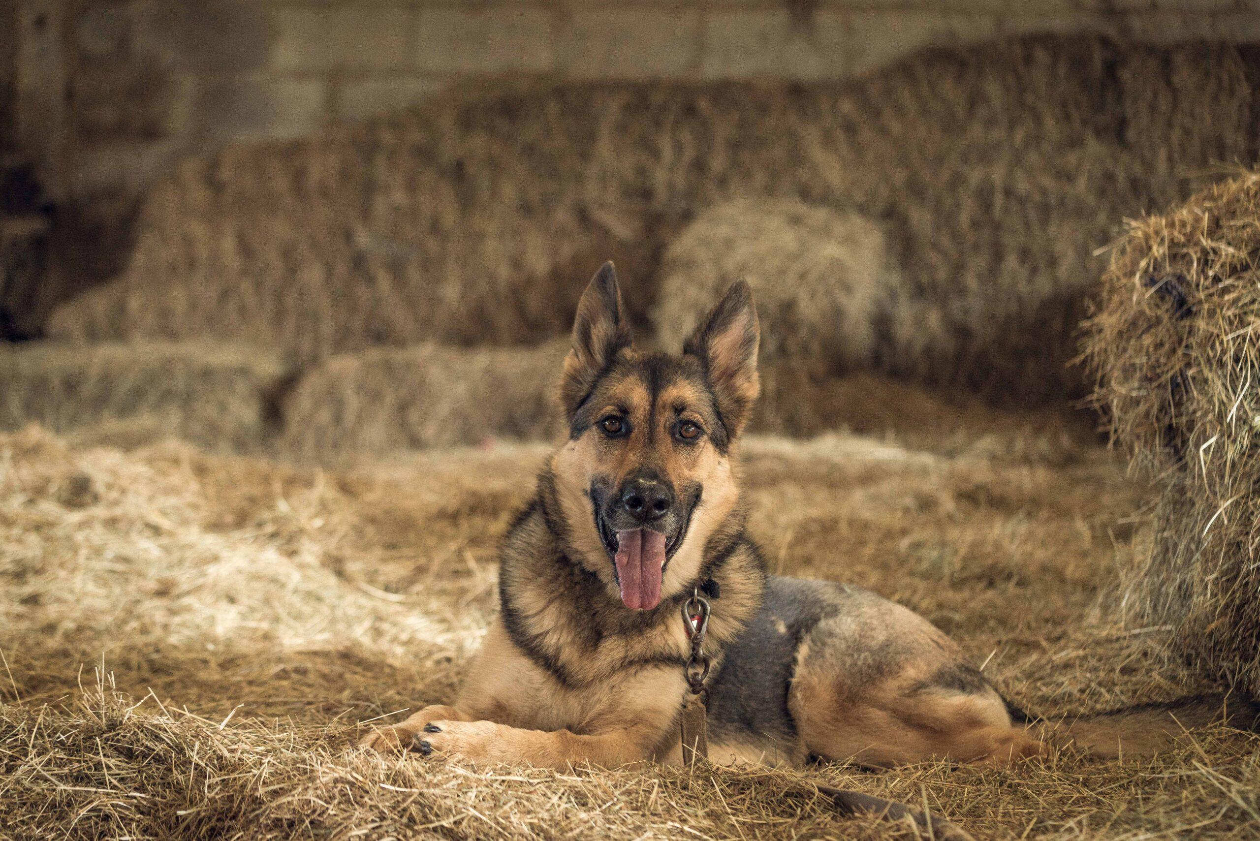 Cachorro-Pastor-alemão-fotos