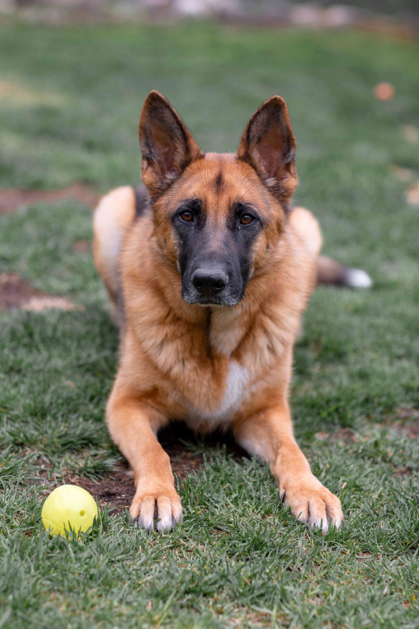Cachorro-Pastor-alemão-imagens