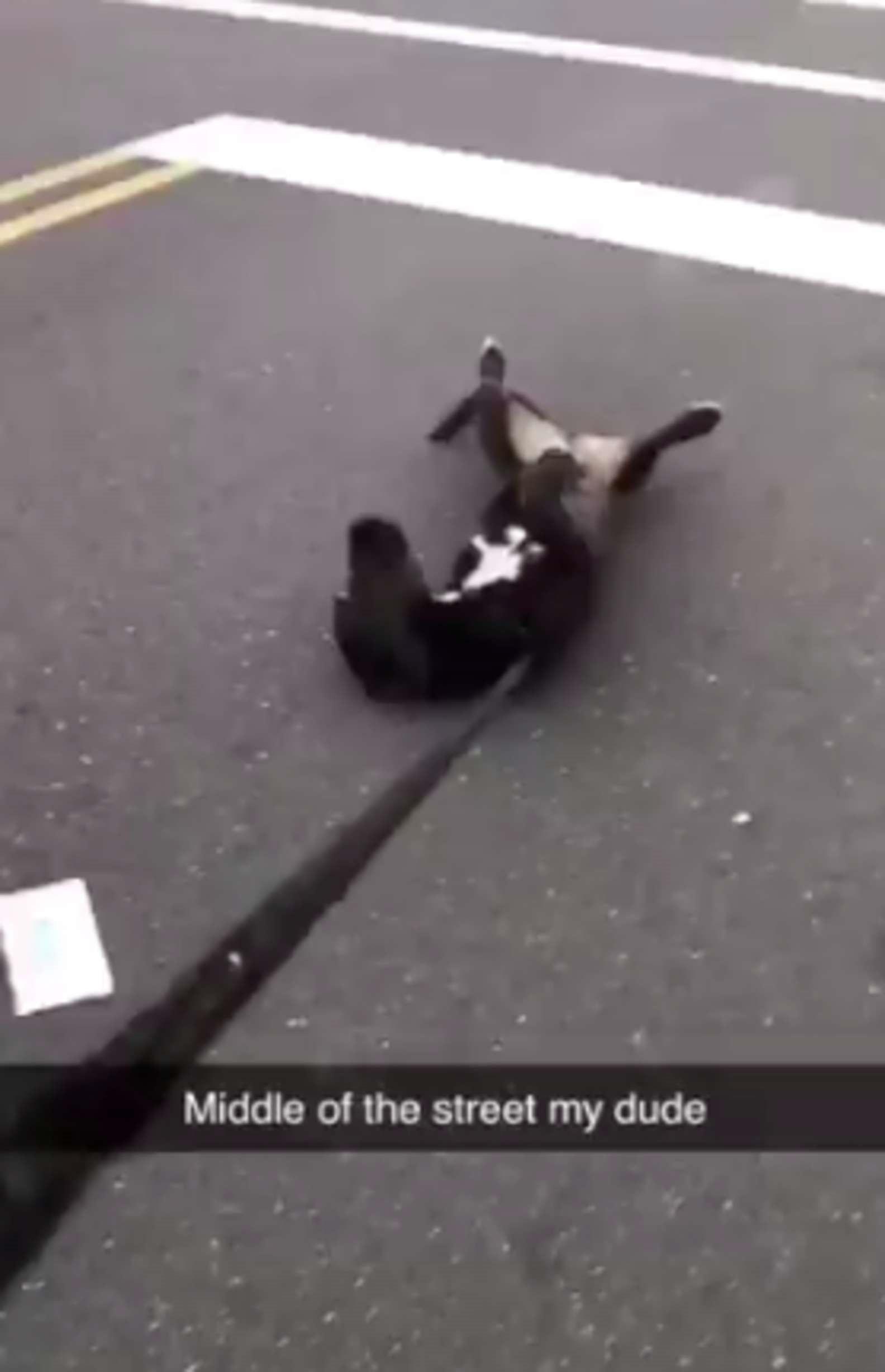 Cachorro finge desmaios passeios