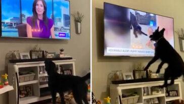 Cachorro vê a si mesmo no telejornal e fica maluco de alegria