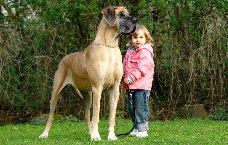 Dogue Alemão tamanho