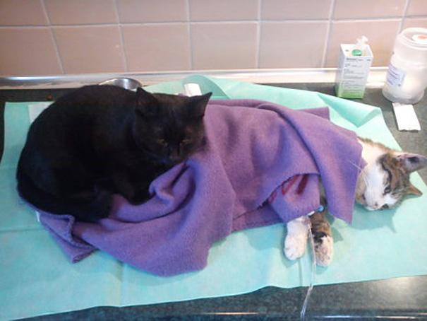 Gato resgatado por veterinários ajuda