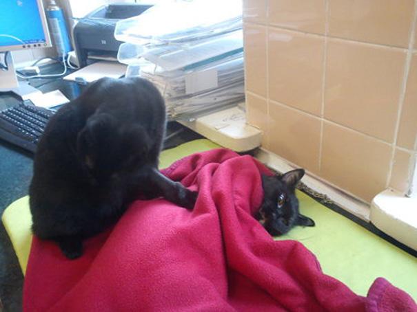 Gato resgatado por veterinários cuida