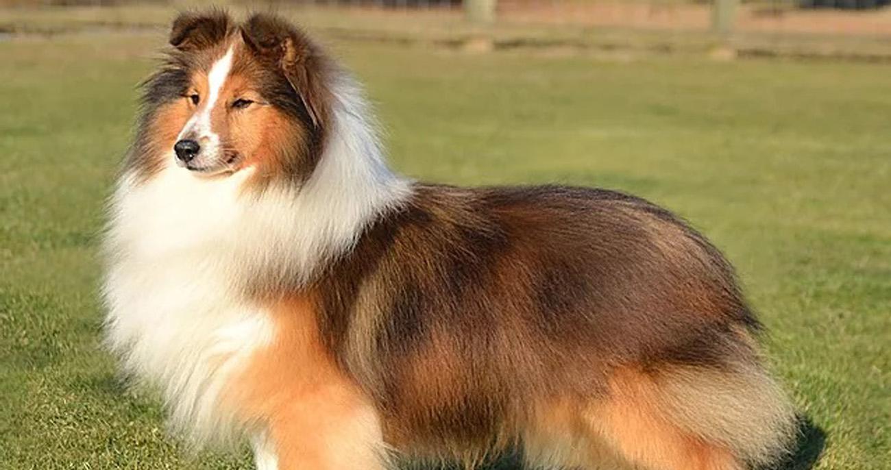 Pastor de Shetland raças de cachorro mais inteligentes