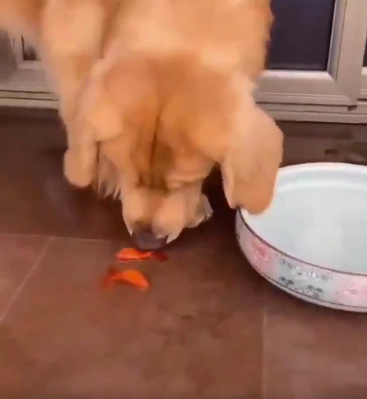 Peixinhos dourados resgatados