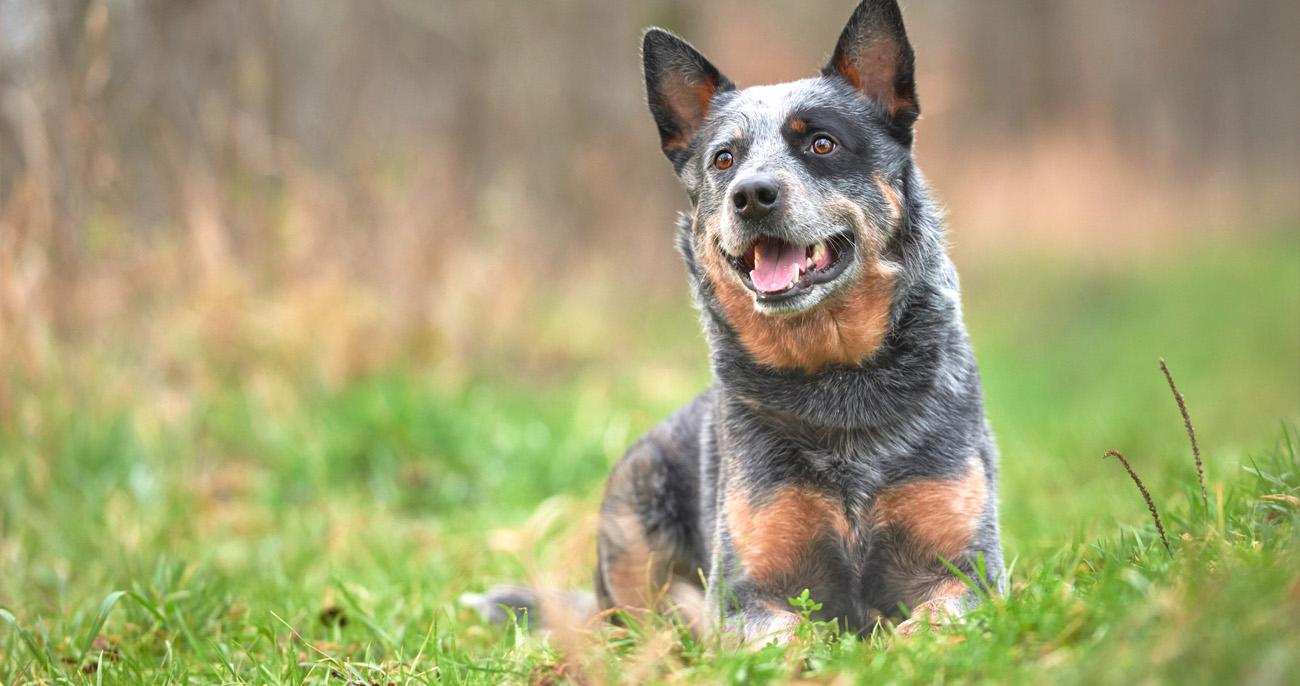 boiadeiro australiano cão