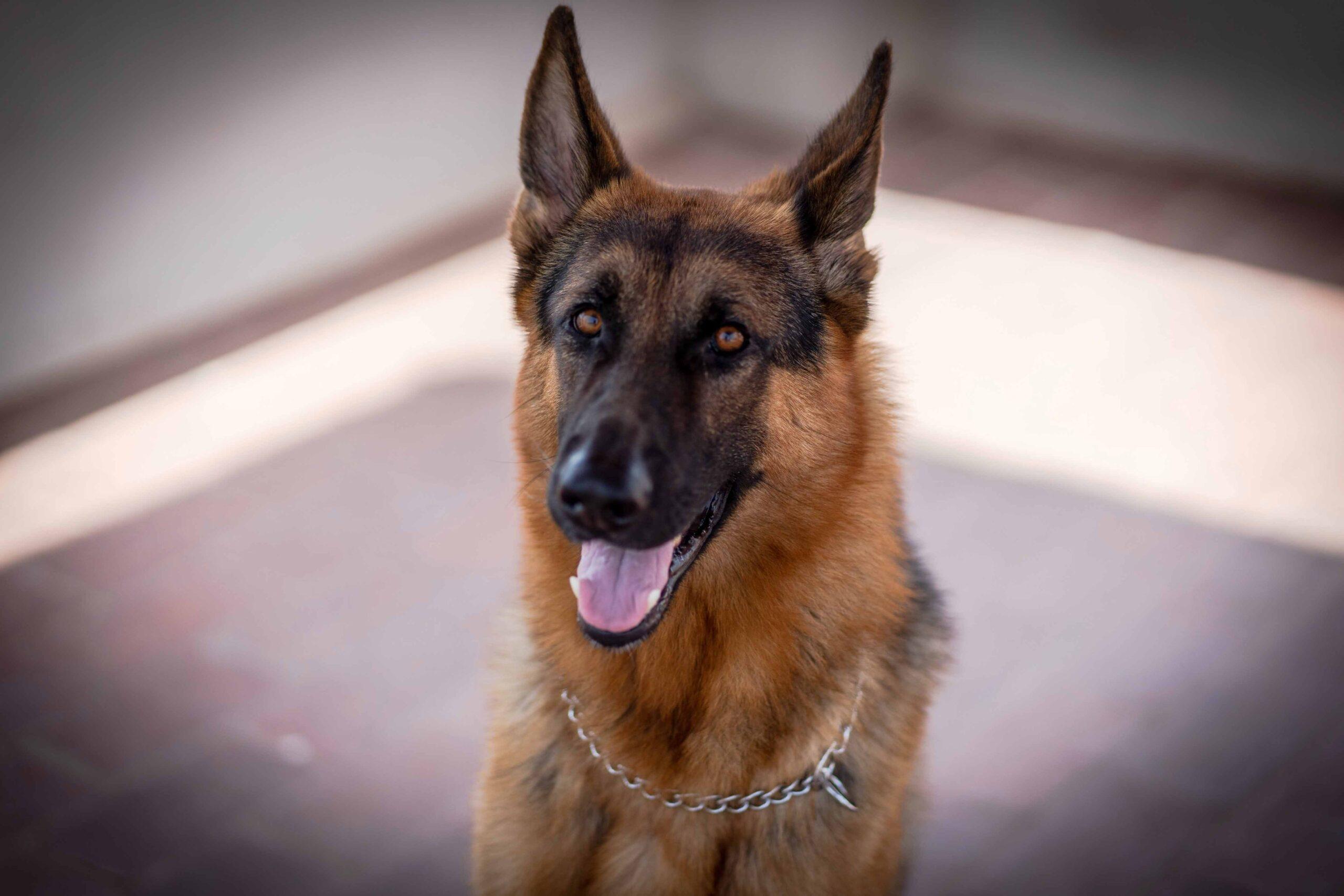 cachorro-mais-inteligente