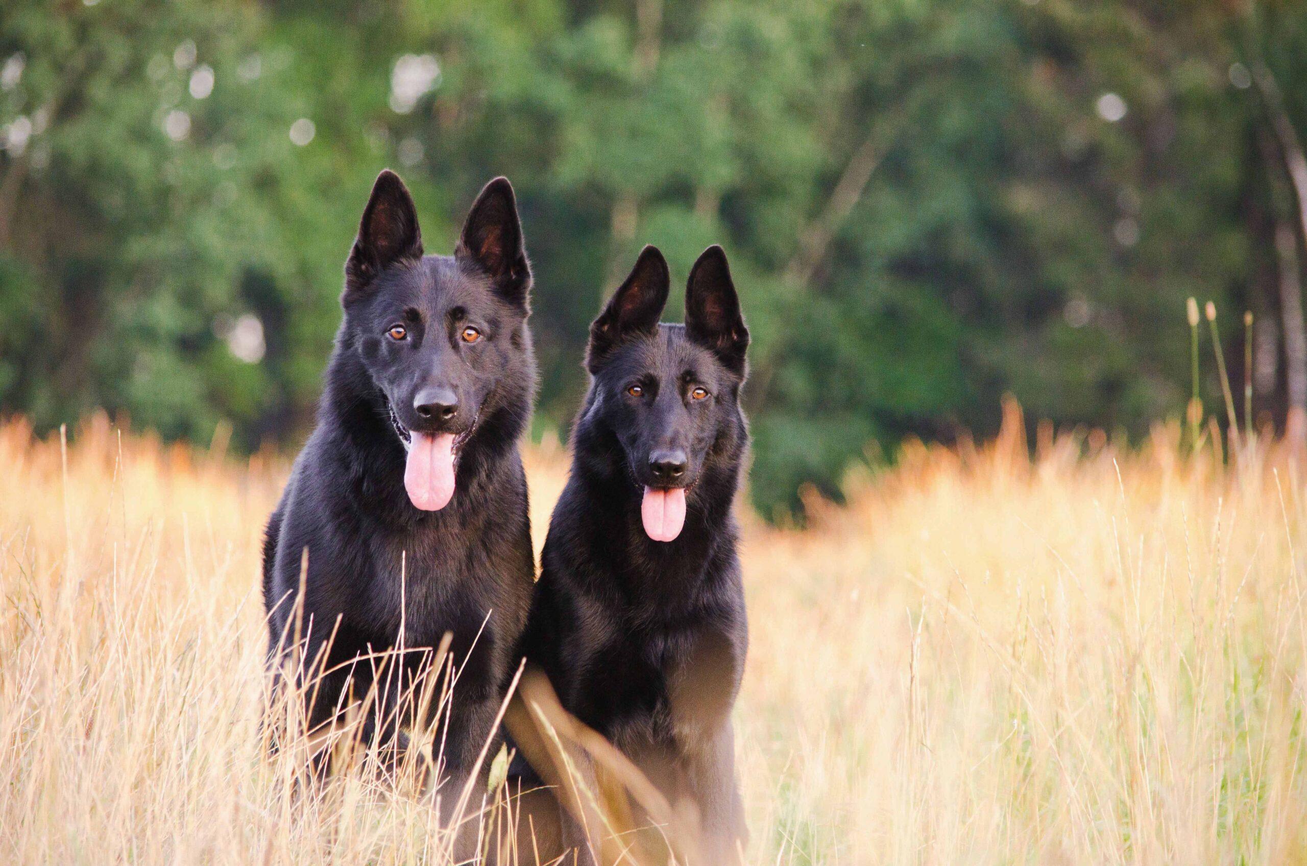 cachorro-pastor-alemão
