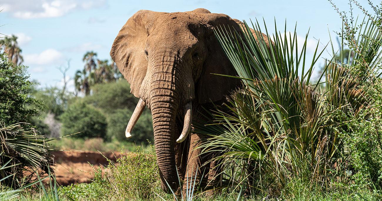 elefante africano curiosidades