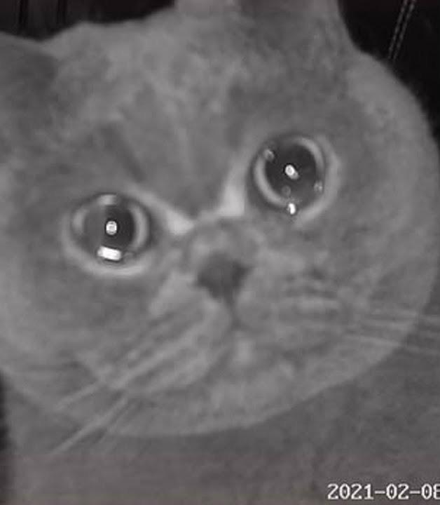gato chora de saudade