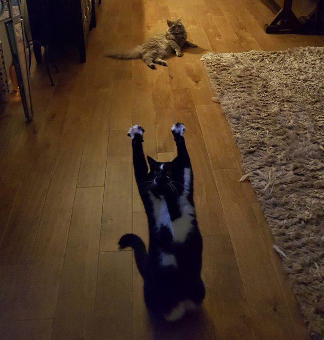 gato engraçado