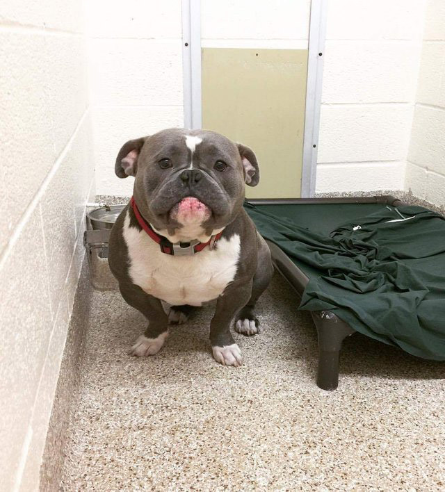 pit bull fofo