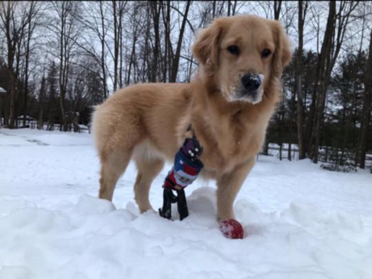 prótese para cachorros
