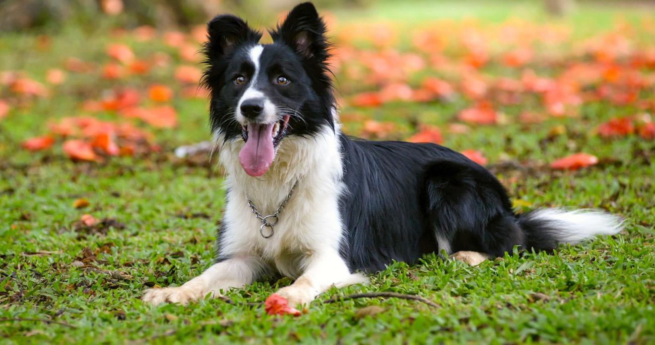 raças de cachorro mais inteligentes border collie