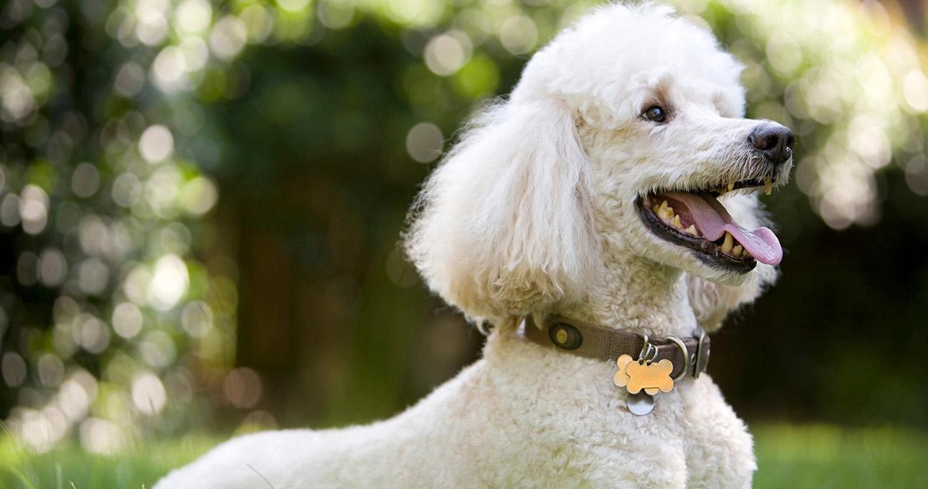 raças de cachorro mais inteligentes poodle