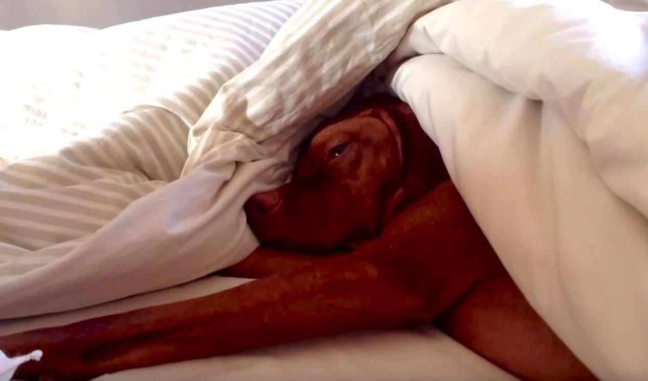 Cachorro preguiçoso odeia despertador